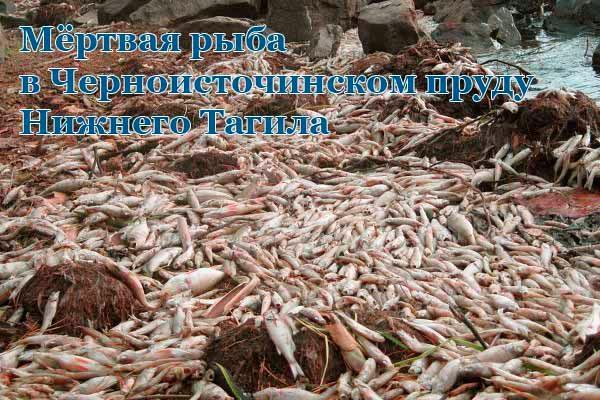 мёртвая рыба в черноисточинском пруду нижнего тагила