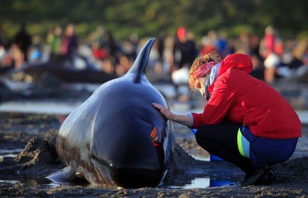 Ночной прилив снял с берега свыше 200 дельфинов-гринд в Новой Зеландии